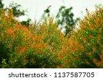bush of heavenly bamboo ... | Shutterstock . vector #1137587705