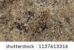 healthy wild rabbit feces ... | Shutterstock . vector #1137613316