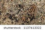 healthy wild rabbit feces ... | Shutterstock . vector #1137613322