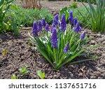 hyacinth bloom  blue muscari... | Shutterstock . vector #1137651716