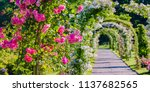 pink and white roses arch in... | Shutterstock . vector #1137682565