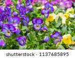 image of pancy flower bed on... | Shutterstock . vector #1137685895