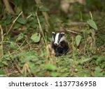 badger cub  native  wild ... | Shutterstock . vector #1137736958