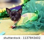 chihuahua puppy dressed up in a ...   Shutterstock . vector #1137843602