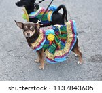chihuahua puppy dressed up in a ...   Shutterstock . vector #1137843605