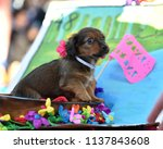 chihuahua puppy dressed up in a ...   Shutterstock . vector #1137843608