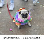 pug puppy dressed up in a...   Shutterstock . vector #1137848255