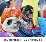 pug puppy dressed up in a...   Shutterstock . vector #1137848258
