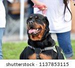 rottweiler dog out for a walk   Shutterstock . vector #1137853115