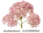 Inflorescence Of  The Pink...