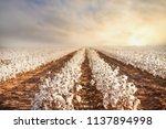 cotton field in west texas | Shutterstock . vector #1137894998