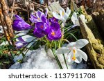 purple and white crocus flowers ... | Shutterstock . vector #1137911708