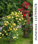 Yellow And Red Rose Bushes Wit...