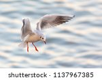 black headed gull ... | Shutterstock . vector #1137967385