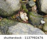 a dead crab at the beach  | Shutterstock . vector #1137982676
