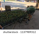 workers of the planting of... | Shutterstock . vector #1137989312