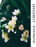 beautiful blossom frangipani....   Shutterstock . vector #1138023185