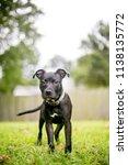 a black pit bull terrier mixed... | Shutterstock . vector #1138135772