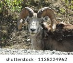 Close up of a stone sheep at the side of the road looking at camera, in the Yukon Territories.