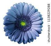gerbera  blue violet flower  on ... | Shutterstock . vector #1138229288
