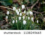 galanthus nivalis  the snowdrop ...   Shutterstock . vector #1138245665
