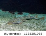 shovelnose guitarfish ...   Shutterstock . vector #1138251098