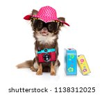 chihuahua dog looking so cool...   Shutterstock . vector #1138312025