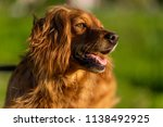 red haired english cocker... | Shutterstock . vector #1138492925