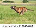 a hybrid of a belgian and a... | Shutterstock . vector #1138494482