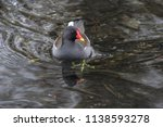 Common Moorhen By The Pond In...