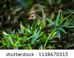 house sparrow photographed in... | Shutterstock . vector #1138670315