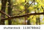 forest songbird on a branch.... | Shutterstock . vector #1138788662