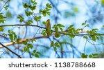 forest songbird on a branch.... | Shutterstock . vector #1138788668