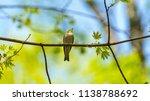 forest songbird on a branch.... | Shutterstock . vector #1138788692