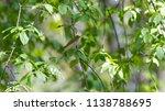 forest songbird on a branch.... | Shutterstock . vector #1138788695