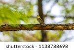 forest songbird on a branch.... | Shutterstock . vector #1138788698