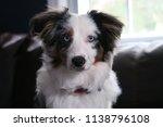 australian shepherd puppy | Shutterstock . vector #1138796108