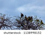 vultures in a treetop waiting... | Shutterstock . vector #1138998152