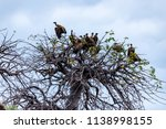 vultures in a treetop waiting... | Shutterstock . vector #1138998155