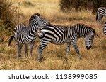 a zebra herd in tanzania's... | Shutterstock . vector #1138999085