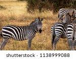 a zebra herd in tanzania's... | Shutterstock . vector #1138999088
