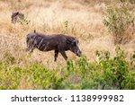 wild boar  or pumba in tanzania'... | Shutterstock . vector #1138999982