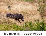 wild boar  or pumba in tanzania'... | Shutterstock . vector #1138999985