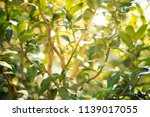 ficus branches with sun beams.... | Shutterstock . vector #1139017055