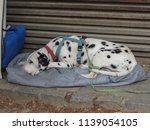 dalmatian dog   domestic dog... | Shutterstock . vector #1139054105
