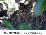 leopard in the wildlife park in ... | Shutterstock . vector #1139066372
