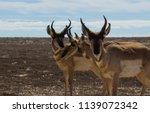 antilocapra americana mexicana | Shutterstock . vector #1139072342