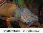 lizard green iguana  also known ... | Shutterstock . vector #1139080862