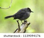 a gray catbird | Shutterstock . vector #1139094176