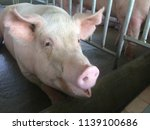 small piglet waiting feed. pig... | Shutterstock . vector #1139100686